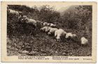 Postcard photograph of sheep grazing on a hillside, from Private Fred Lucas, Italy, to Master Fred Lucas, Black Horse, Low Fell, Gateshead, concerning 'the Austrians being finished', 10 November 1918