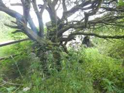 Tree growing near the bridge 2016